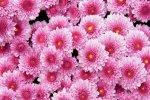 Хризантемы распускаются во Владивостоке
