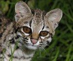 Бразильские ученые нашли ранее неизвестный вид кошек