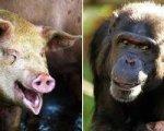Люди произошли от свиньи и шимпанзе!
