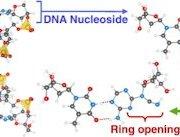 Радиоактивные атомы в структуре ДНК могут вызывать генные мутации