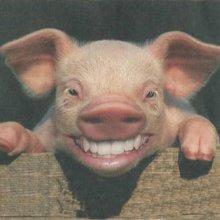 Японские ученые намерены выращивать человеческие органы в свиньях