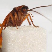 Ученые установили, откуда же в Европе взялись тараканы