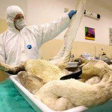 Первая жертва птичьего гриппа H5N1 - женщина из Канады
