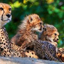 В Приморье сняли уникальное реалити-шоу о семье леопардов