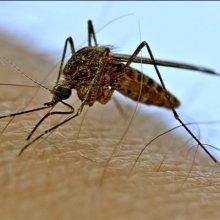Ученые Рейха хотели сделать из комаров оружие массового поражения