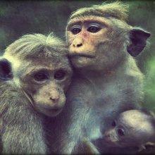 Блины с ягодами и мёд являются кормом для обезьян в красноярском зоопарке