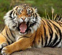 В Тбилиси тигры из зоопарка напали на местных жителей