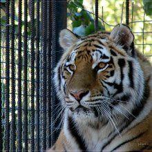 В Тбилиси тигры напали на троих посетителей зоопарка