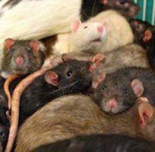Учёные: Крысам дано ощущение сожаления