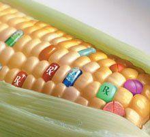 Учёные из России просят ввести мораторий на ГМО
