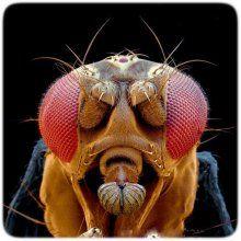 Ученые: у мух-дрозофилов обнаружен ген человеческого языка