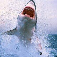 Американские ученые: Нападения акул на людей участятся