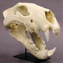 В Якутии обнаружили останки пещерного льва