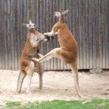 Ученые классифицируют кенгуру как пятиногих животных