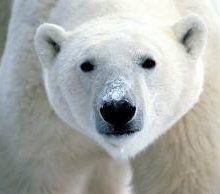В Африке умер последний белый медведь
