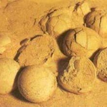 В пустыне Гоби археологи обнаружили яйца динозавров