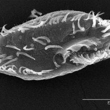 Ученые: Открыто одноклеточное, разрушающее и полностью перестраивающее  свое ДНК