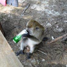 За $3,2 млн американский Минздрав испытает на обезьянах действие алкоголя