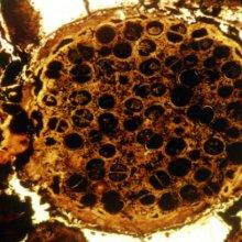 В Китае ученые обнаружили эмбрионы возрастом 600 млн. лет