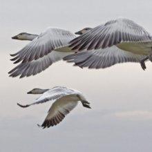 Ученые: Птицы ведут себя в полете проще, чем ранее считалось