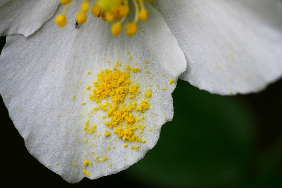 мое пыльца цветов фото антипина подозревают