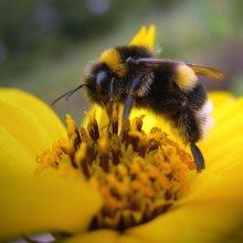Сонник: пчёлы, к чему снятся пчелы