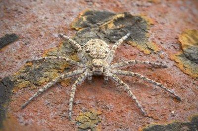 В Перу ученые нашли огромных летающих пауков