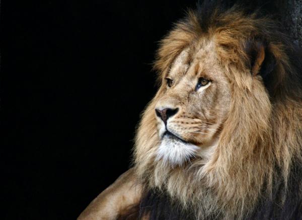 Датский зоопарк проведет публичное вскрытие льва