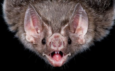 Ученые улучшат сонары благодаря эхолокации летучих мышей