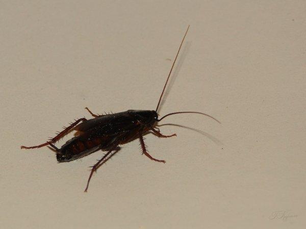 Тараканы привлекают самок, показывая им «мускулы» - ученые