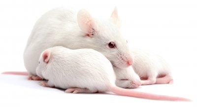 Ученые: «Эпигенетический мусор» яйцеклетки влияет на поведение взрослых грызунов