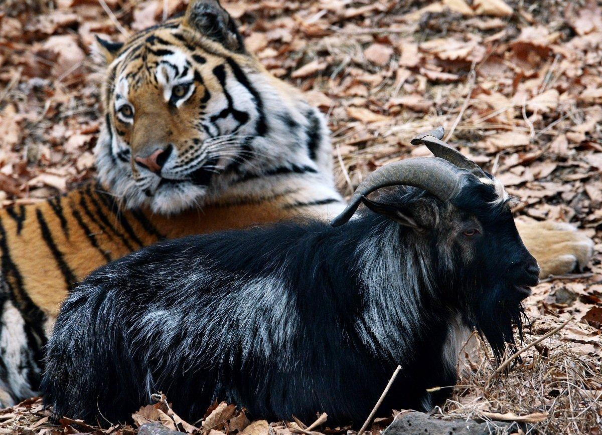 видео про тигра амура и козла тимура сегодня