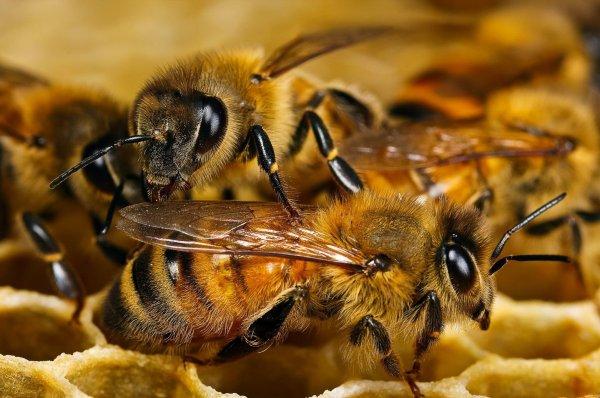 Ученые: Пчелы предупреждают друг друга об опасности с помощью специальных сигналов
