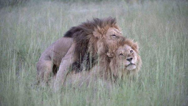 В Ботсване сфотографировали двух львов-геев