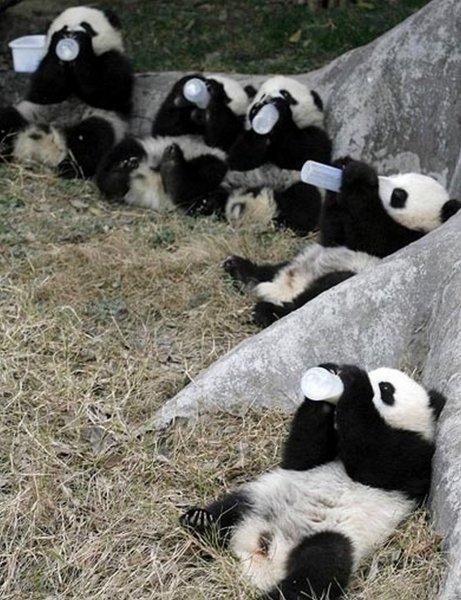 Детеныш панды стал новой звездой интернета