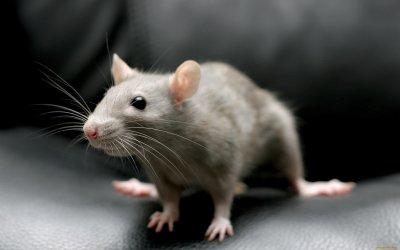 Ученые доказали пользу «грязных» мышей для лабораторных опытов