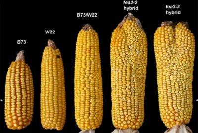 Ученые: Генетическая мутация повысила урожайность кукурузы на 50%