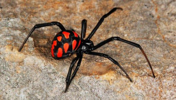 Ученые: самцы пауков-каннибалов сами выбирают себе самку