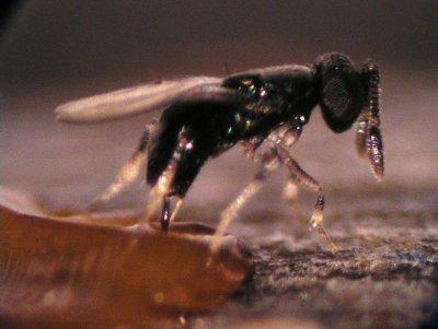 Ученые: Открыт вид осы, который исчез несколько столетий назад