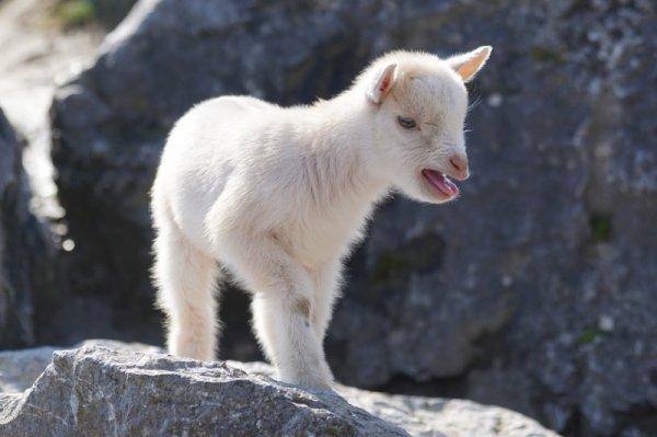 В Новосибирском зоопарке родились двое снежных козлят