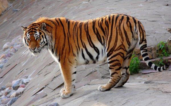 Учены: Численность амурских тигров за последние 10 лет увеличилась на 15%