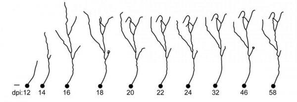 Учёные изучили процесс развития «взрослых» нейронов