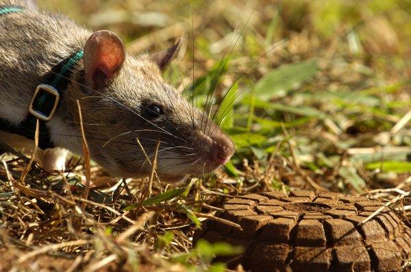 Ученые из США вывели грызунов, способных выявлять по запаху взрывчатку