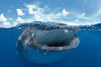 В мире могут исчезнуть китовые акулы и калимантанские орангутаны