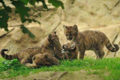 В Калифорнии в горах обнаружили котят горных львов