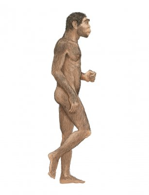 Ученые: Походка Homo erectus была идентична походке современного человека