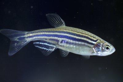 Ученые использовали рыбок данио для исследования артрита