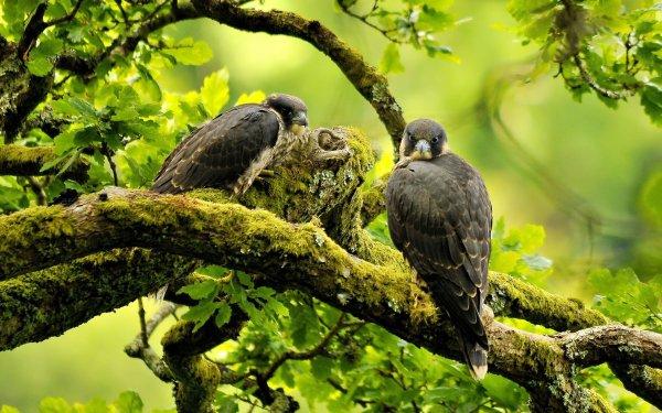 Ученые: Сапсаны являются самыми верными птицами в природе