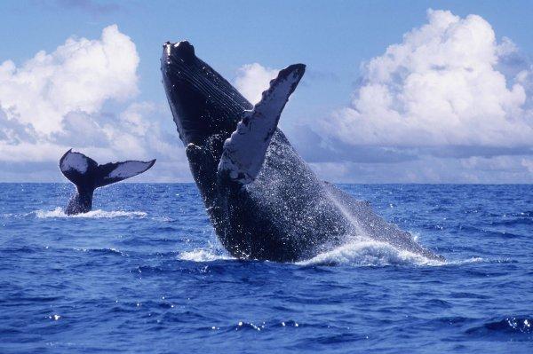 Ученые изучают массовое присутствие горбатых китов в Селиш море