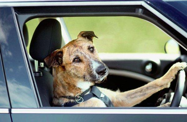 Поющий за рулем пес из Брянска стал звездой интернета
